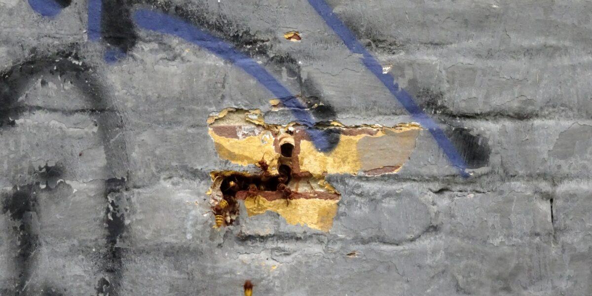 Hornissennest in der Außenwand eines Abrissgebäudes auf dem Kasernengelände